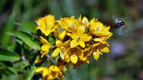 Bij zoemen rond en het bestuiven heldere gele kleine bok choy bloemen die vliegen stock foto