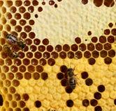 Bijen royalty-vrije stock foto's
