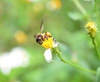 Bijen aan een bloem Royalty-vrije Stock Afbeeldingen