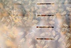 Bijen achter het glas Stock Afbeelding