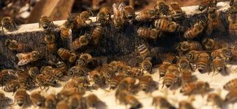 Bijen bij bijenkorf Royalty-vrije Stock Foto's