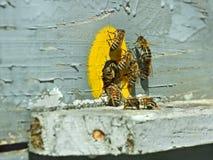 Bijen bij de bijenkorf dichtbij tap-hole Stock Afbeeldingen
