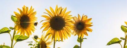 Bijen bij Zonnebloemen met Zonlicht stock foto