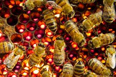 Bijen binnen bijenkorf Stock Foto