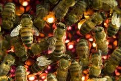 Bijen binnen bijenkorf Stock Fotografie