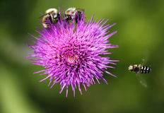 Bijen - Buren Royalty-vrije Stock Afbeeldingen