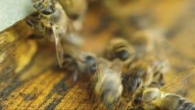Bijen dichtbij een bijenkorfclose-up stock footage