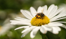 Bijen dichte omhooggaand Royalty-vrije Stock Foto