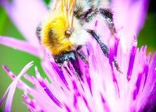 Bijen dichte omhooggaand Stock Afbeeldingen