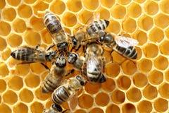 Bijen die aan honingraat werken Stock Afbeeldingen