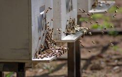 Bijen die aan hun bijenkorf terugkeren Stock Foto's