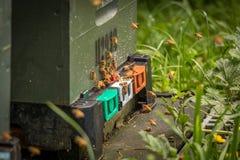 Bijen die Bijenkorf, Nieuw Zeeland ingaan royalty-vrije stock foto