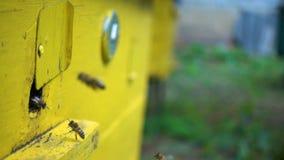 Bijen die binnen en uit bijenkorf dicht omhoog vliegen stock footage