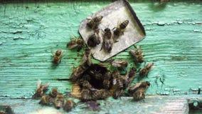 Bijen die binnen en uit bijenkorf vliegen stock videobeelden