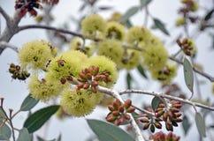 Bijen die de bloemen van Eucalyptusdesmondensis bestuiven stock foto