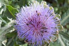 Bijen die het purpere bloeiende hoofd van een artisjok bestuiven royalty-vrije stock foto's