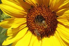 Bijen die honing van bloeiende zonnebloem verzamelen Stock Afbeeldingen