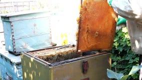 Bijen die honing verzamelen stock video