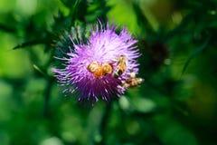 Bijen die nectar verzamelen Sluit omhoog mening Royalty-vrije Stock Afbeelding