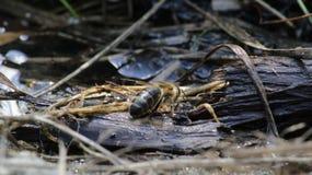 Bijen drinkwater Stock Afbeelding
