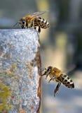 Bijen drinkwater en het vliegen royalty-vrije stock afbeeldingen