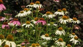 Bijen in een de zomertuin Royalty-vrije Stock Foto's