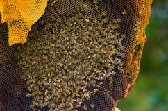Bijen in een honingraat Stock Foto