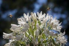 Bijen en Bloem Stock Foto's