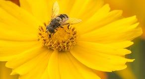 Bijen en bloemen Stock Foto
