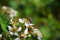Bijen en bloemframboos Royalty-vrije Stock Afbeeldingen