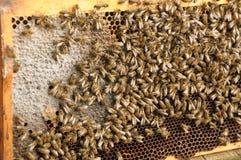Bijen en honing Royalty-vrije Stock Fotografie