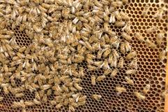 Bijen en honing Royalty-vrije Stock Afbeeldingen