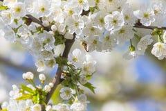 Bijen en kersenbloesems Royalty-vrije Stock Afbeelding