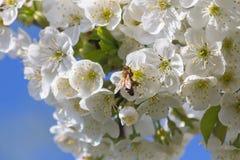Bijen en kersenbloesems Royalty-vrije Stock Foto's
