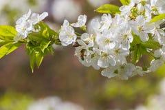Bijen en kersenbloesems Royalty-vrije Stock Foto