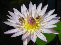 Bijen en Lotus royalty-vrije stock afbeeldingen