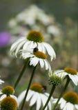 Bijen en madeliefjes Stock Foto's