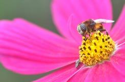 Bijen en purpere bloemen royalty-vrije stock foto