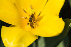 Bijen en tulpen Stock Foto