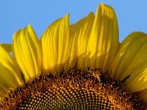 Bijen en zonnebloem Royalty-vrije Stock Fotografie