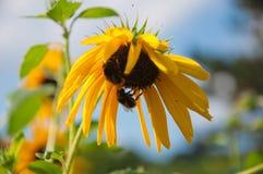 Bijen en zonnebloemen Royalty-vrije Stock Foto