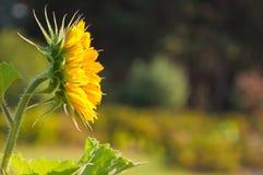 Bijen en zonnebloemen Royalty-vrije Stock Afbeeldingen