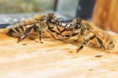 Bijen het spreken Royalty-vrije Stock Afbeeldingen