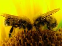 Bijen - het teamwerk Stock Foto