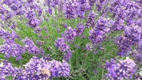 bijen Lavendel Honing stock video
