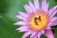 Bijen met lotusbloem royalty-vrije stock fotografie