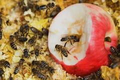 Bijen op appel Royalty-vrije Stock Foto's