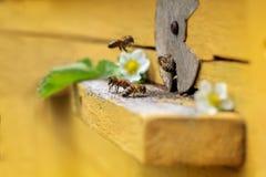 Bijen op bijenkorf Royalty-vrije Stock Fotografie
