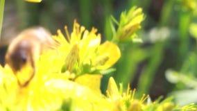 Bijen op bloem stock footage