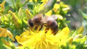Bijen op bloem stock video